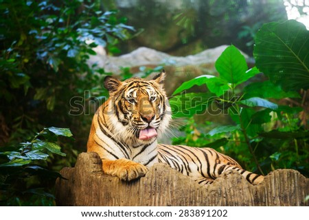 Bengal Tiger in forest show head and leg #283891202