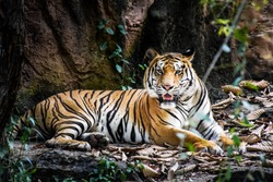 Bengal Tiger in forest show head and leg. Wildlife scene with danger animal. Hot summer in thailand. Dry area with beautiful tiger.
