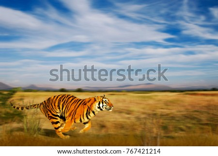 Bengal tiger in natural habitat. The Bengal (Indian) tiger (Panthera tigris) running on golden grassland under the beautiful blue sky with the white clouds. India