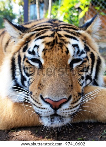 Bengal Tiger in relaxed and comfortable position. close up shot at face.