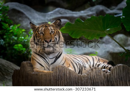 Bengal Tiger lay down on the rock.