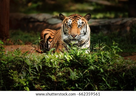 Bengal tiger on nature #662359561