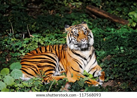 Shutterstock Bengal tiger (Panthera tigris bengalensis) laying in thick grass