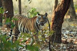 Bengal Tiger (Panthera Tigris Tigris) Walking in Forest, Looking into the Camera, Bandhavgarh, India