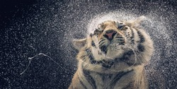 Bengal Tiger Shaking water off