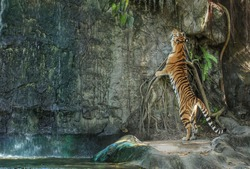 bengal tiger standing on the rock near waterfall