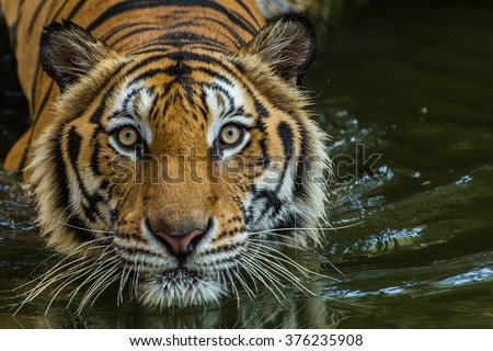 stock photo bengal tiger swimming show head and looking at the faces of sight 376235908 - Каталог — Фотообои «Животные»