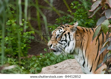 Bengal tiger with vegetation, logs and rocks