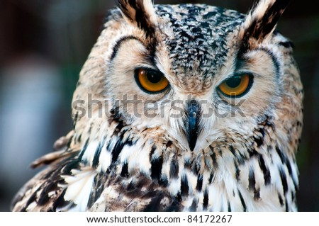 Bengalese Eagle Owl (Bubo bengalensis) close-up portrait