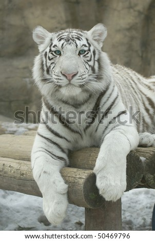 Bengalese tiger