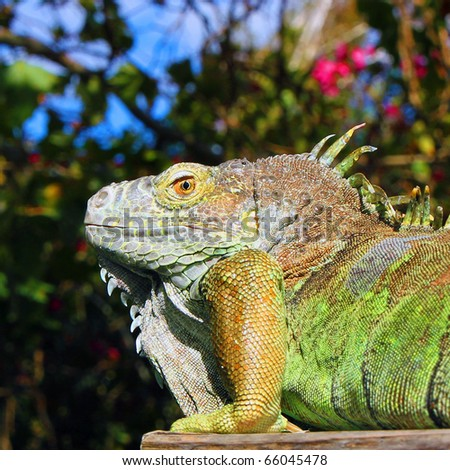 BENICIA, CALIFORNIA - OCTOBER 3, 2010: Picture of iguana taken on October 3, 2010, in Benicia, California, with blue sky and flower in background. - stock photo