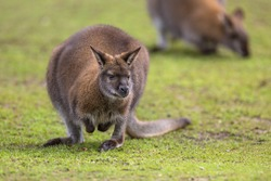 Bennet Wallaby (Macropus rufogrisens). Red-necked wallabies are mainly solitary but will gather together when there is an abundance of resources such as food, water or shelter.