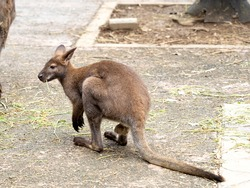 Bennett Red-necked Wallaby. It is an animal native to Australia.