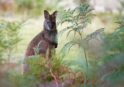 Bennett's wallaby - Macropus rufogriseus, also red-necked wallaby, medium-sized macropod marsupial, common in eastern Australia, Tasmania, introduced to New Zealand, England
