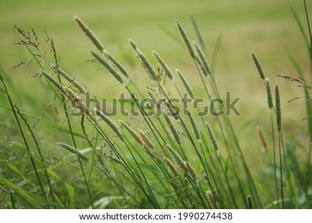 Bent grasses  flowers Alopecurus wild meadow plants in summer. Abstract fresh wild grass flowers, foxtail grass. Stock fotó ©
