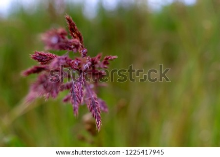 Bent on a green grass. Closeup of red bent. Wild grass. Nature meadow. Background of bent on field. Bent is grass which is used for lawns and is component of pasture and hay grasses.