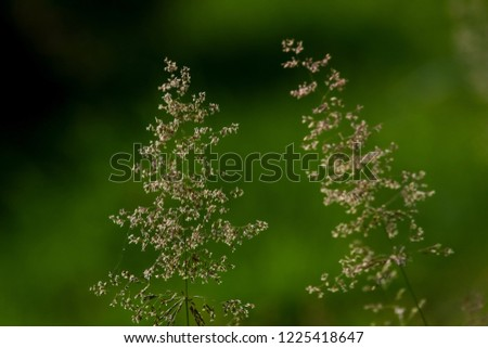 Bent on a green grass. Meadow with two bent. Wild grass. Nature meadow. Background of bent on field. Bent is grass which is used for lawns and is component of pasture and hay grasses.