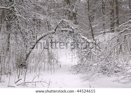 Bent tree in winter forest