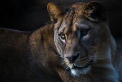 Berber lioness portrait in nature park