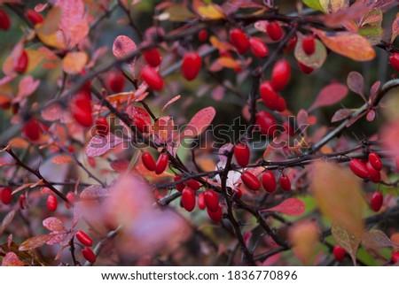 Berberis fruits in autumn, barberry close up, berberis vulgaris Stock photo ©