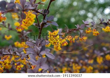 Berberis thunbergii japanese barberry ornamental flowering shrub, group of beautiful small yellow petal flowers in bloom, purple reddish leaves Stock photo ©