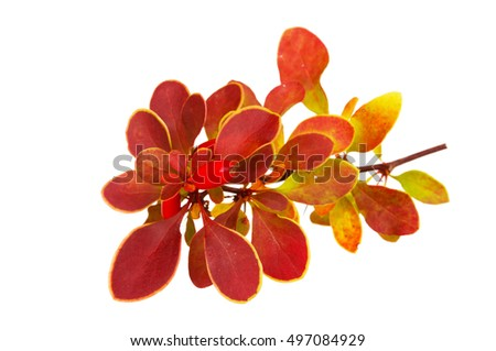 Berberis thunbergii (Latin Berberis thunbergii Coronita). Barberry. Ripe barberries thunbergii isolated on white background #497084929