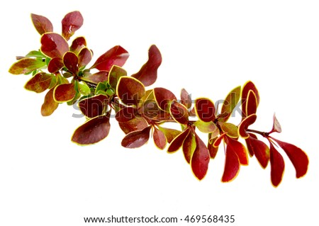 Berberis thunbergii (Latin Berberis thunbergii Coronita).Berberis thunbergii on white background #469568435