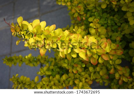 Berberis thunbergii, the Japanese barberry, Thunberg's barberry, or red barberry, is a species of flowering plant in the barberry family. Stock photo ©