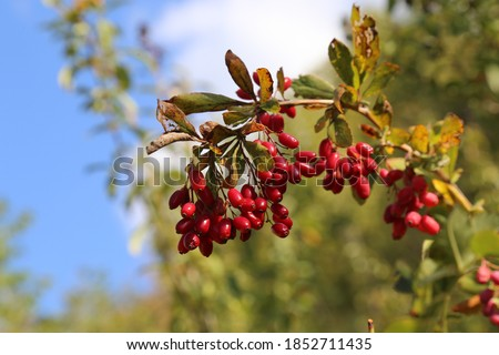 Berberis vulgaris, Barberry. Wild plant photographed in the fall. Stock photo ©