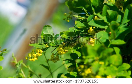 Berberis vulgaris,  European barberry or simply barberry, is a shrub in the genus Berberis. It produces edible buty acid acid berries. It is cultivated for its fruits in many countries. Zdjęcia stock ©