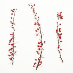 Berberis vulgaris twigs,  Tree branches of red berberis  with ripe fruits on white