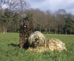Bergamasco Sheepdog or Bergamese Shepherd, Adults laying on Grass