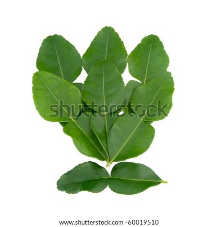 Bergamot leaves isolated on white background.
