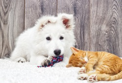 Berger Blanc Suisse puppy and kitten fluffy carpet