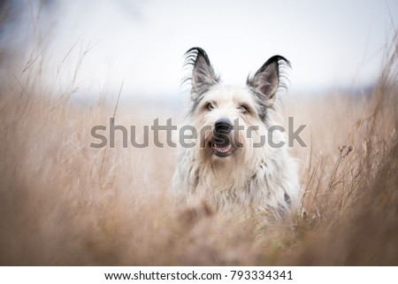 Berger picard dog in winter the field