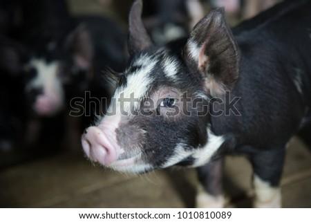 Berkshire Pig or Kurobuta Pig -swine farming business. Pigfarmingis the raising and breeding of domestic pigs as livestock. Pig business