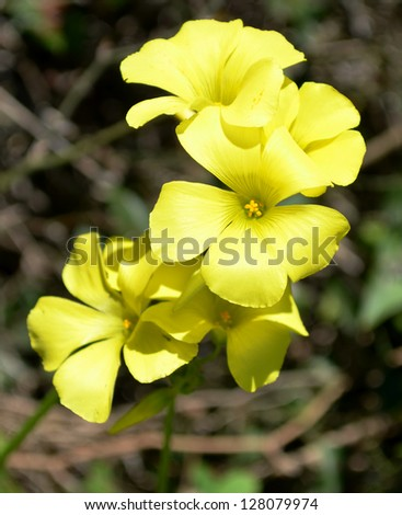Bermuda Buttercup / Sorrel Flowers