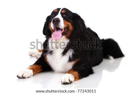Berner Sennenhund dog isolated on white