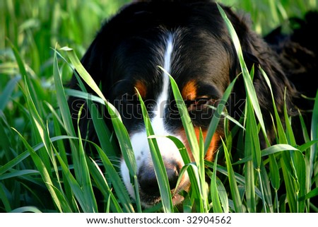 Bernese dog laying in grass