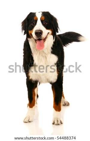 Bernese mountain dog (Berner Sennenhund), on the white background