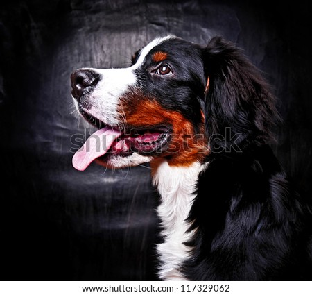 Bernese mountain dog (Berner Sennenhund) puppy in studio