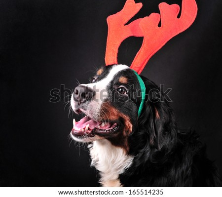 bernese mountain dog dressed up in reindeer antlers christmas doghappy new year dog