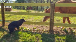 Bernese mountain dog encounters a horse for the first time