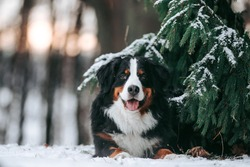 Bernese mountain dog female posing outside in the forest. Bernese senenhund in the winter.