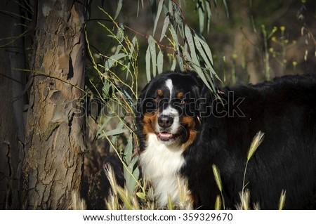 Bernese Mountain Dog in the brush
