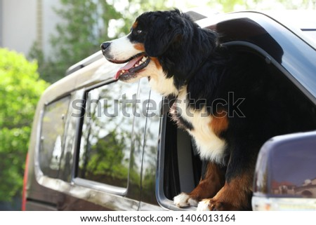 Bernese mountain dog looking out of car window, space for text #1406013164