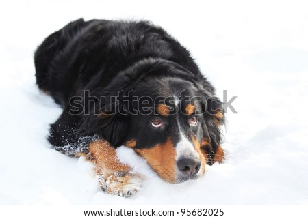 Bernese mountain dog looking sad, laying in snow and looking up