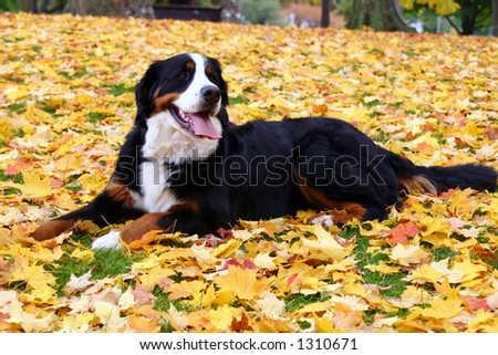 Bernese Mountain dog lying in leaves
