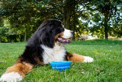 Bernese Mountain Dog lying on the grass in the park. Blue collapsible silicone bowl with water near his paws.
