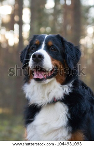 Bernese mountain dog posing in forest background. Dog portrait outside. #1044931093